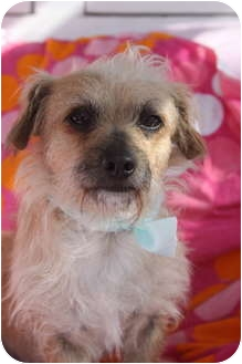 Cairn Terrier/Terrier (Unknown Type, Small) Mix Dog for adoption in san diego, California - Wilbur