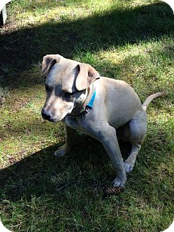 Labrador Retriever Mix Dog for adoption in Gig Harbor, Washington - Robbin