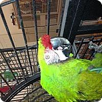 Adopt A Pet :: Paco - Punta Gorda, FL