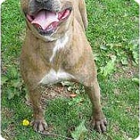 Pit Bull Terrier Mix Dog for adoption in Monroe, Connecticut - Cindy Rose Urgent!