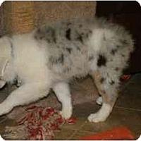 Adopt A Pet :: Ike - Mesa, AZ