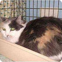 Adopt A Pet :: Calpurnia - Lombard, IL