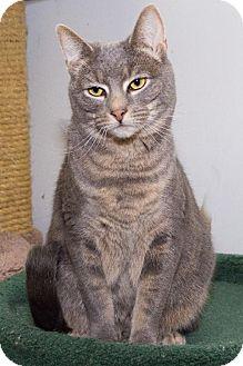Domestic Shorthair Cat for adoption in Philadelphia, Pennsylvania - Harmony