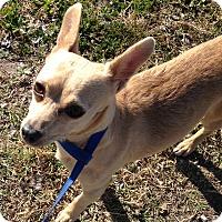 Adopt A Pet :: Candy - Beeville, TX