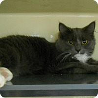 Domestic Mediumhair Cat for adoption in Saranac Lake, New York - Gonzo