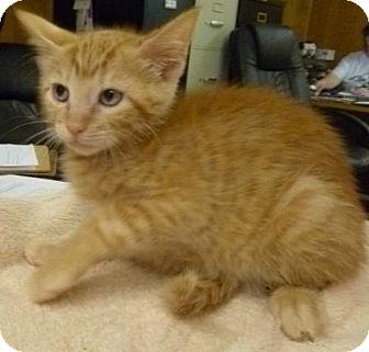 Domestic Shorthair Kitten for adoption in Livingston, Texas - Marley