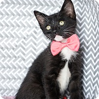 Domestic Shorthair Kitten for adoption in Montclair, California - Dixon