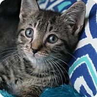 Adopt A Pet :: Finn $85 Male Kitten - knoxville, TN