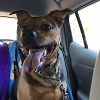 German Shepherd Dog Mix Dog for adoption in Rancho Santa Margarita, California - ZZ - Lola *courtesy post*