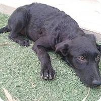 Adopt A Pet :: Hershey - El Cajon, CA