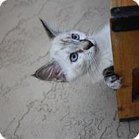 Adopt A Pet :: Monica - Phoenix, AZ