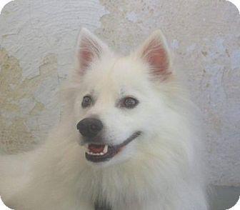 American Eskimo Dog Dog for adoption in Lindsey, Ohio - Rudy of Southern Ohio