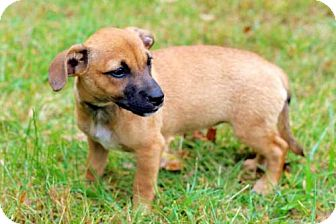 Dachshund/Chihuahua Mix Puppy for adoption in Portland, Maine - PUPPY HOT FUDGE