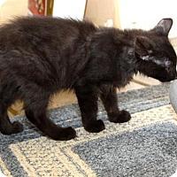 Domestic Shorthair Kitten for adoption in Flower Mound, Texas - Truffle
