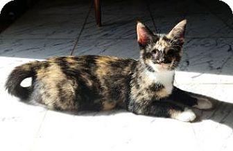 Domestic Shorthair Kitten for adoption in Toledo, Ohio - Lovey