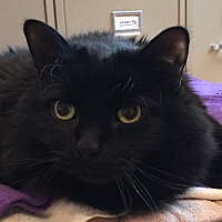 Domestic Mediumhair Cat for adoption in Lafayette, New Jersey - Smokey