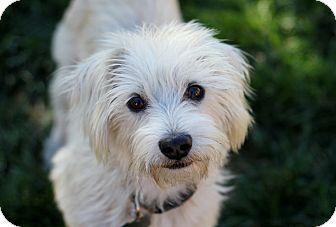 Westie, West Highland White Terrier/Schnauzer (Miniature) Mix Dog for adoption in Bellflower, California - Sidney - Watch my video!