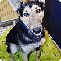 Adopt A Pet :: Shepherd male X - San Jacinto, CA
