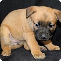 Adopt A Pet :: Bria - Chester Springs, PA