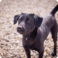 Adopt A Pet :: Carmen - Brattleboro, VT