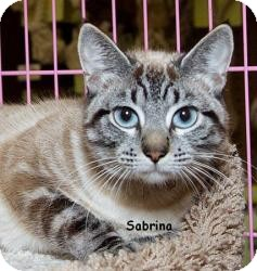 Siamese Cat for adoption in Sacramento, California - Sabrina M