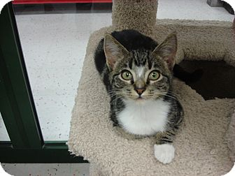 Domestic Shorthair Kitten for adoption in Phoenix, Arizona - REMY