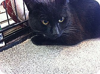 Domestic Shorthair Cat for adoption in Toronto, Ontario - Joe Joe