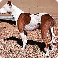 Adopt A Pet :: Tank - Gilbert, AZ