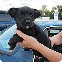 Adopt A Pet :: Go-tee/Adoption Pending - Glastonbury, CT