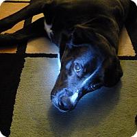 Adopt A Pet :: Scout - Caledon, ON