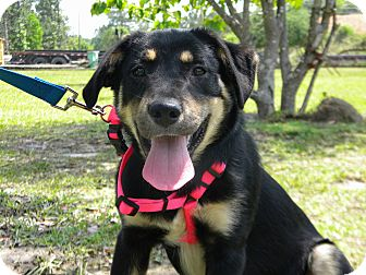 Shepherd (Unknown Type)/Labrador Retriever Mix Puppy for adoption in Ocean Springs, Mississippi - Emmy