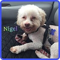 Adopt A Pet :: Nigel - Hollywood, FL