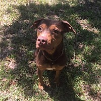 Hound (Unknown Type)/Doberman Pinscher Mix Dog for adoption in Tampa, Florida - Kia