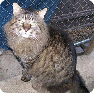 Maine Coon Cat for adoption in Alamo, California - Caesar