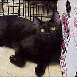 Photo 2 - Domestic Shorthair Cat for adoption in Deerfield Beach, Florida - Castaway