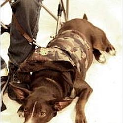 Photo 4 - Labrador Retriever/Australian Cattle Dog Mix Dog for adoption in Garland, Texas - Coco