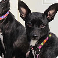Adopt A Pet :: TOOTIE BUG - Hartford, CT
