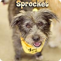Adopt A Pet :: Sprocket - Los Angeles, CA
