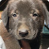 Adopt A Pet :: Clyde - Santa Ana, CA