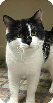 Domestic Shorthair Cat for adoption in Macon, Georgia - Seminole