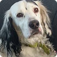 Adopt A Pet :: BEAU - Pine Grove, PA
