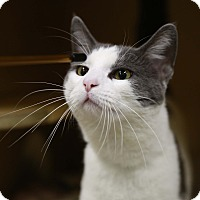 Adopt A Pet :: Patchouli - Kettering, OH