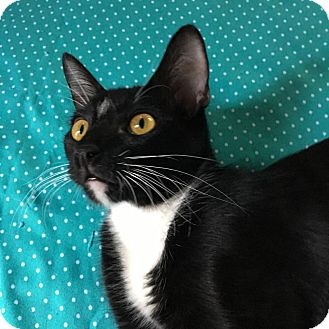 Siamese Kitten for adoption in Yorba Linda, California - Purple Rain
