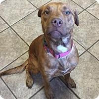 Pit Bull Terrier Mix Dog for adoption in Joplin, Missouri - Judy 4631