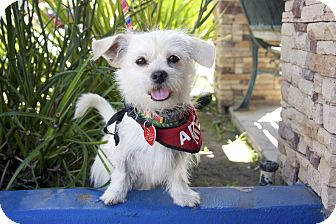 Terrier (Unknown Type, Small) Mix Dog for adoption in Van Nuys, California - Pauly Wiggles