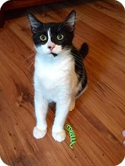 Domestic Shorthair Cat for adoption in McKinney, Texas - Petunia - Courtesy Listing