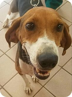 Treeing Walker Coonhound Dog for adoption in Knoxville, Tennessee - Whitney