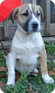Boxer/Feist Mix Puppy for adoption in Newburgh, New York - Vixen