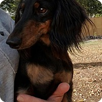 Adopt A Pet :: Little Bear - Helotes, TX