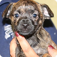 Adopt A Pet :: Mia - Lakewood, CO